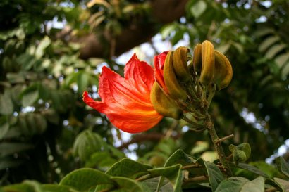 Gambia Flower