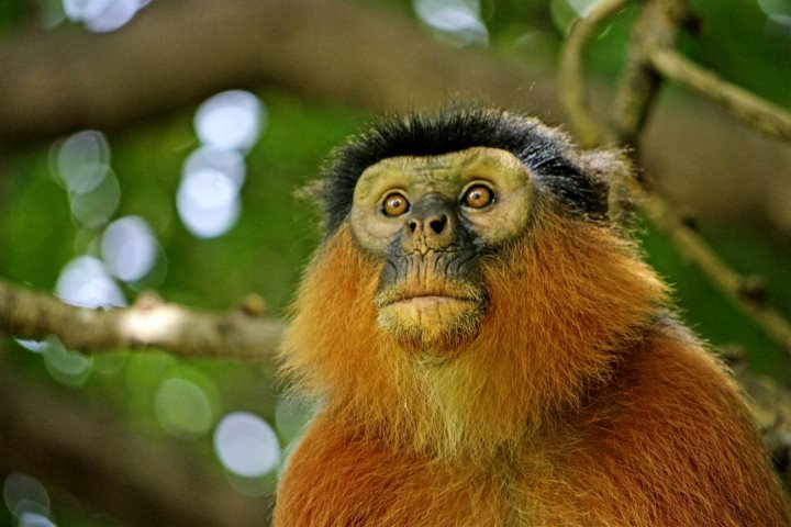 Western Red Colobus Monkey, an endangered species in The Gambia