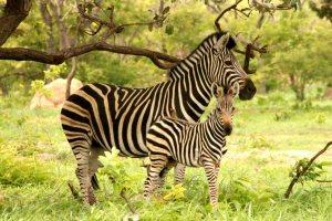 Zebras in Senegal, at Fathala Wildlife Reserve