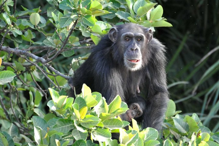 Chimpanzee Rehabilitation Project Camp, an ideal twin centre holiday combination with one of Gambia's lovely beach hotels