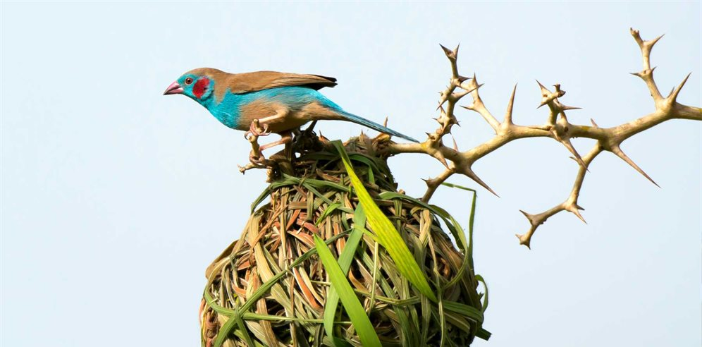 Cordon-Bleu investigating a weaver's nest, Mandina Lodges
