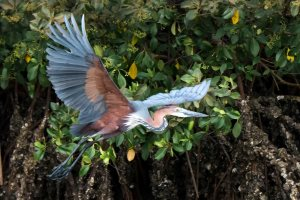 Goliath Heron in Makasutu Forest - Dave Montreuil