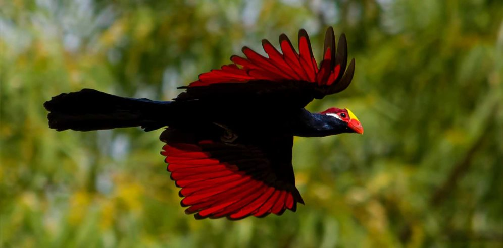 Violet Turaco photographed in Makasutu Forest