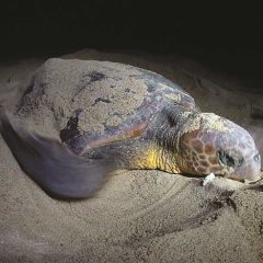 Loggerhead turtles in Cape Verde