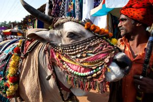 A traditionally decorated cow