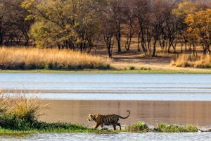 Bengal Tiger in Ranthambore National Park, India - GUDKOV ANDREY | Shutterstock