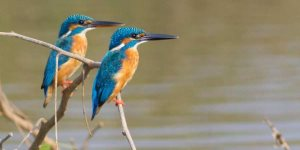 Kingfisher - Goa