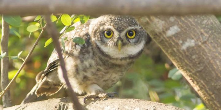 Spotted Owlet - Goa