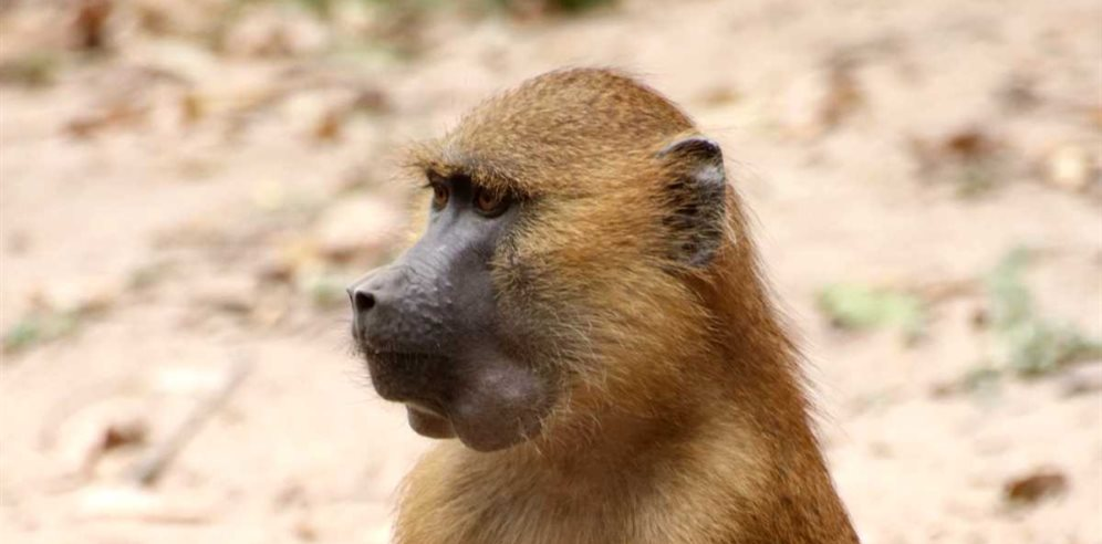 Baboon at Mandina Lodges, Makasutu Forest, The Gambia