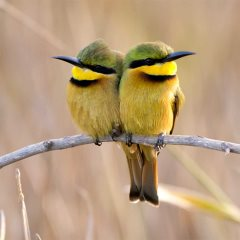 Gambia Birdlife - Little Bee Eater
