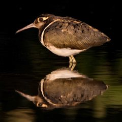 Gambia Birdlife - Greater Painted Snipe